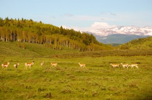 Pronghorn near Clark, CO in Northern Routt county.