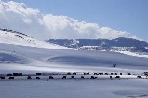Cattle braving the snow in Clark, CO
